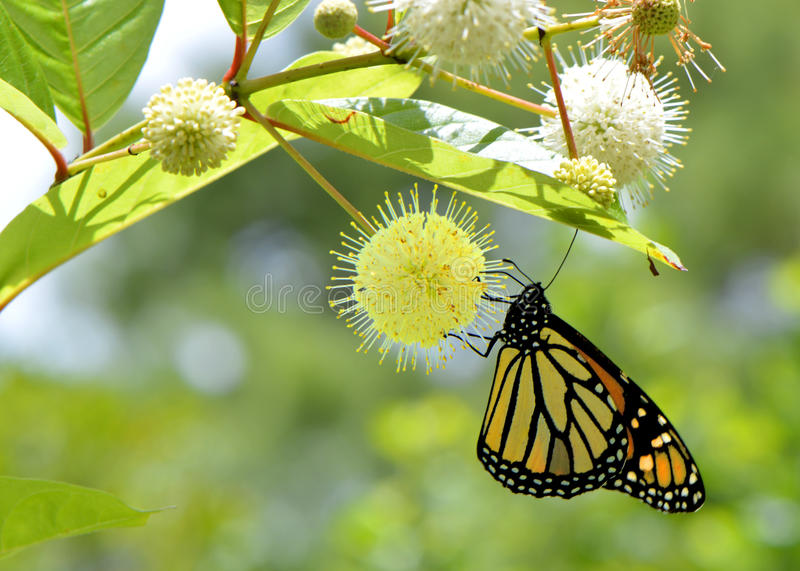 Monarch butterfly. Latin name Danaus plexippus stock image