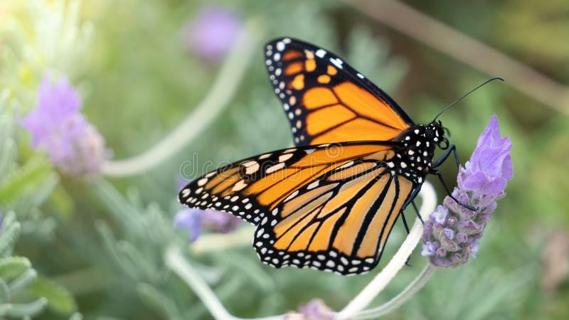 Monarch Butterfly on Lavender with Copy Space stock image