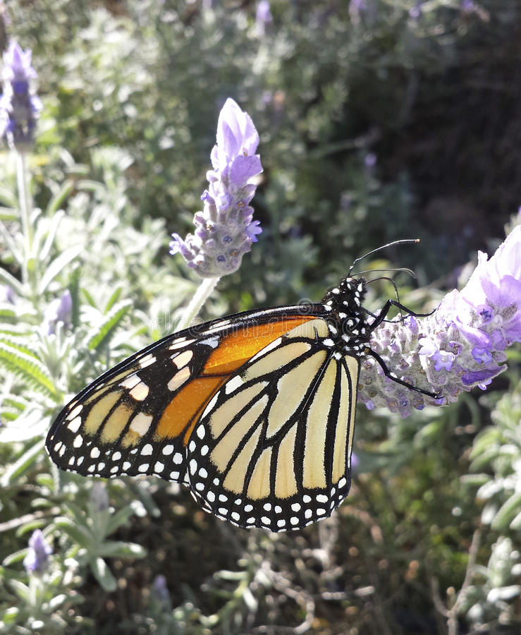 Monarch Butterfly on Lavender Flower royalty free stock photography