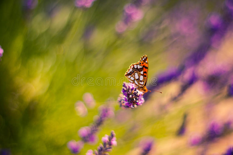 Monarch Butterfly on the Lavender in Garden. Lavender. Lavender field at Sunset. Close up image. Soft Focus. Summer background concept stock photography