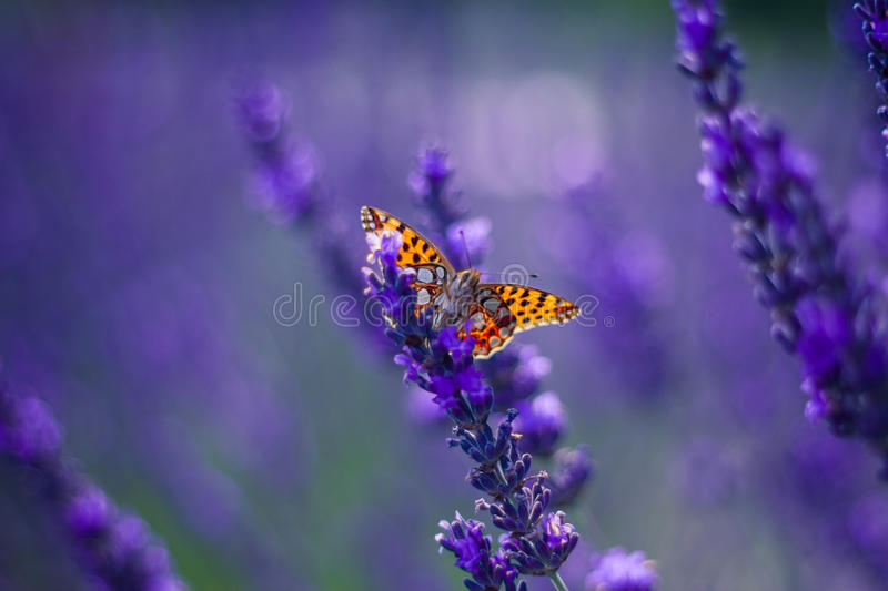 Monarch Butterfly on the Lavender in Garden. Lavender. Lavender field at Sunset. Close up image. Soft Focus. Summer concept royalty free stock image