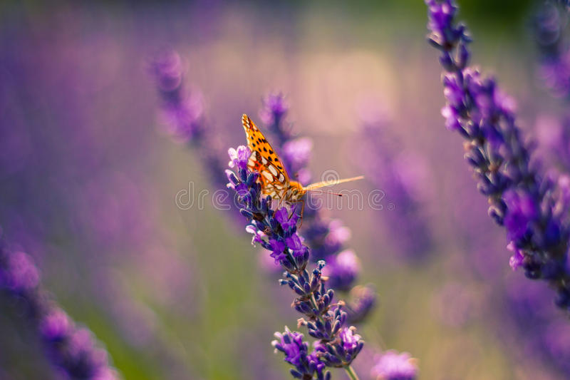 Monarch Butterfly on the Lavender in Garden. Lavender. Lavender field at Sunset. Close up image. Soft Focus. Summer concept stock photography