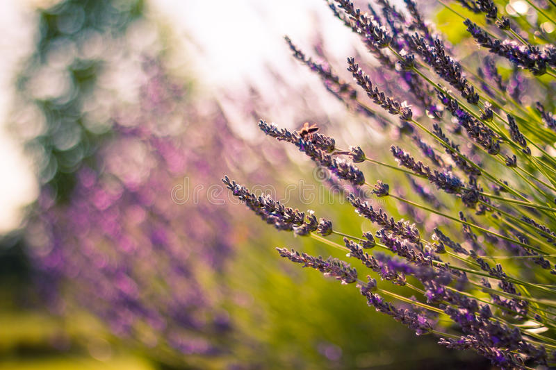 Monarch Butterfly on the Lavender in Garden. Lavender. Lavender field at Sunset. Close up image. Soft Focus. Summer concept stock images