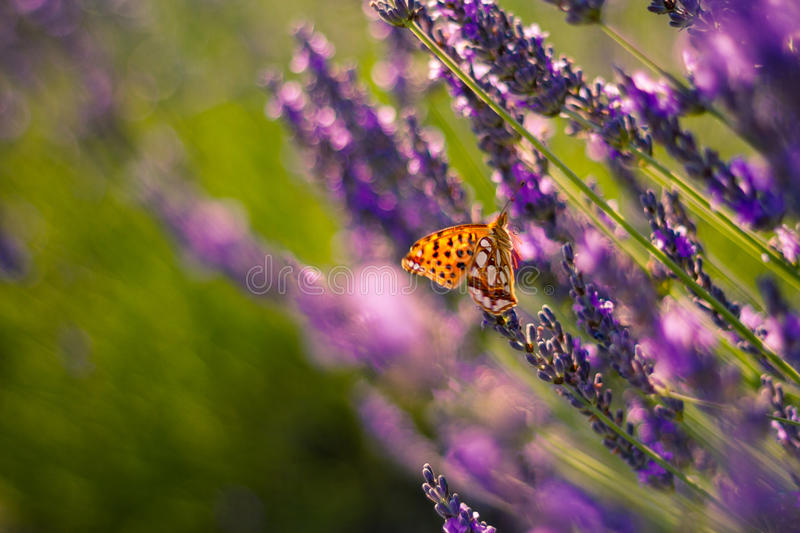 Monarch Butterfly on the Lavender in Garden. Lavender. Lavender field at Sunset. Close up image. Soft Focus. Summer concept stock photo