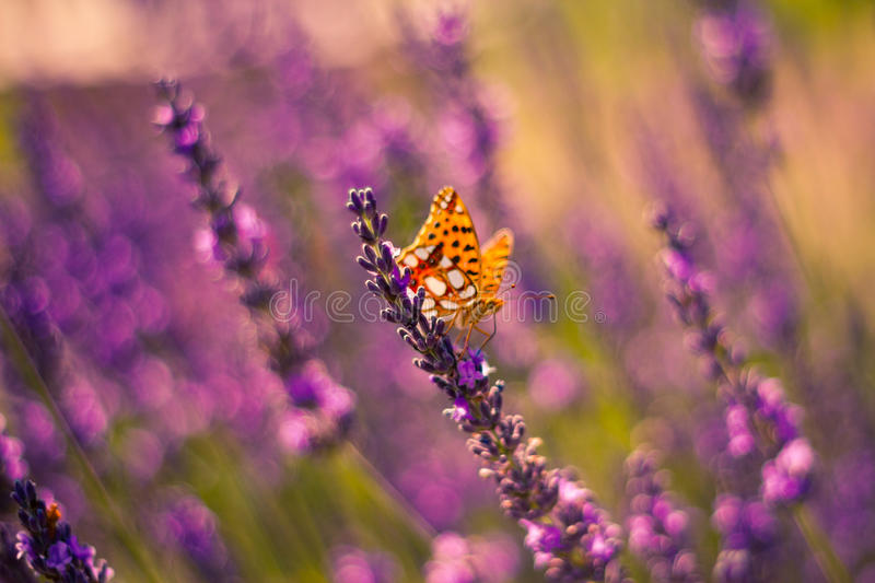 Monarch Butterfly on the Lavender in Garden. Lavender. Lavender field at Sunset. Close up image. Soft Focus. Summer concept royalty free stock images