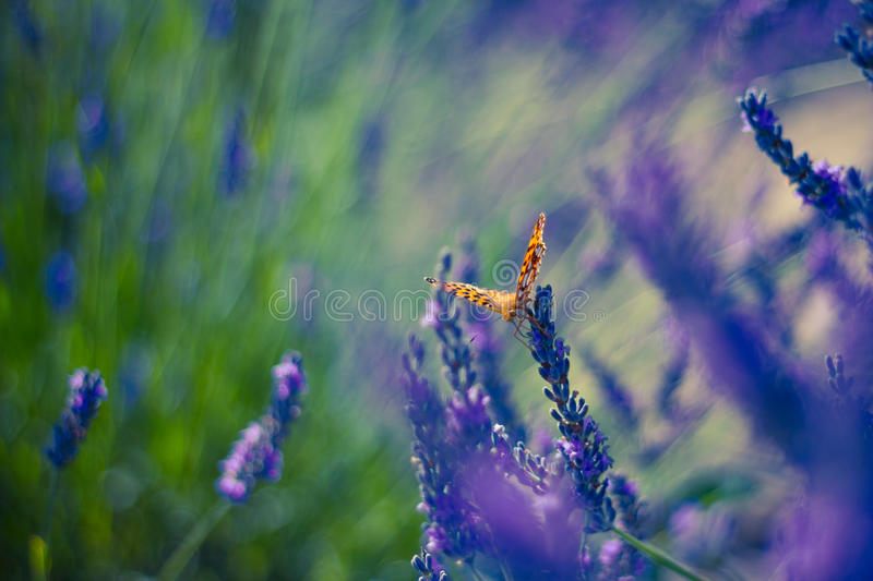Monarch Butterfly on the Lavender in Garden. Lavender. Lavender field at Sunset. Close up image. Soft Focus. Summer concept royalty free stock photography