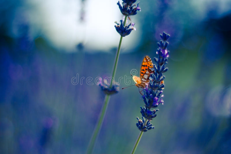 Monarch Butterfly on the Lavender in Garden. Lavender. Lavender field at Sunset. Close up image. Soft Focus. Summer concept stock image