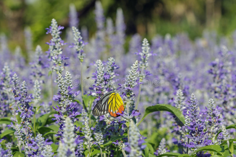 Monarch Butterfly on the Lavender royalty free stock photos