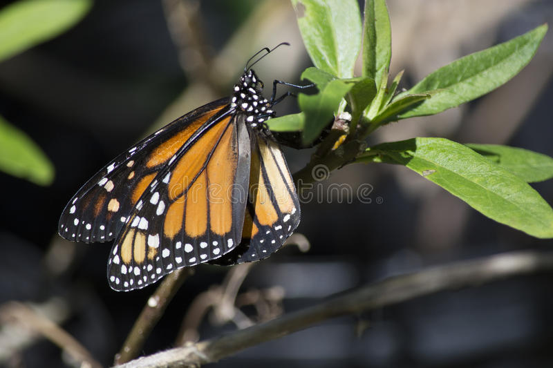 Monarch Butterfly Laying Eggs. The Monarch Butterfly Danaus plexippus lays its eggs on milkweed plants Asclepias where the caterpillars feed. Adult monarchs will stock image