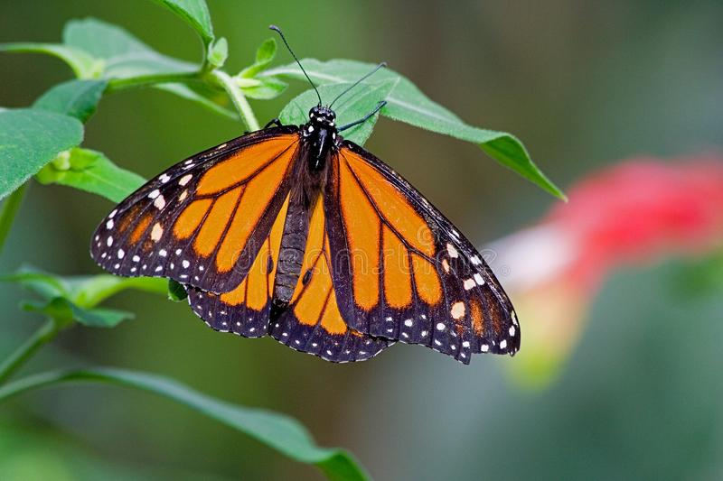 Monarch butterfly on leaf. With open wings stock photo