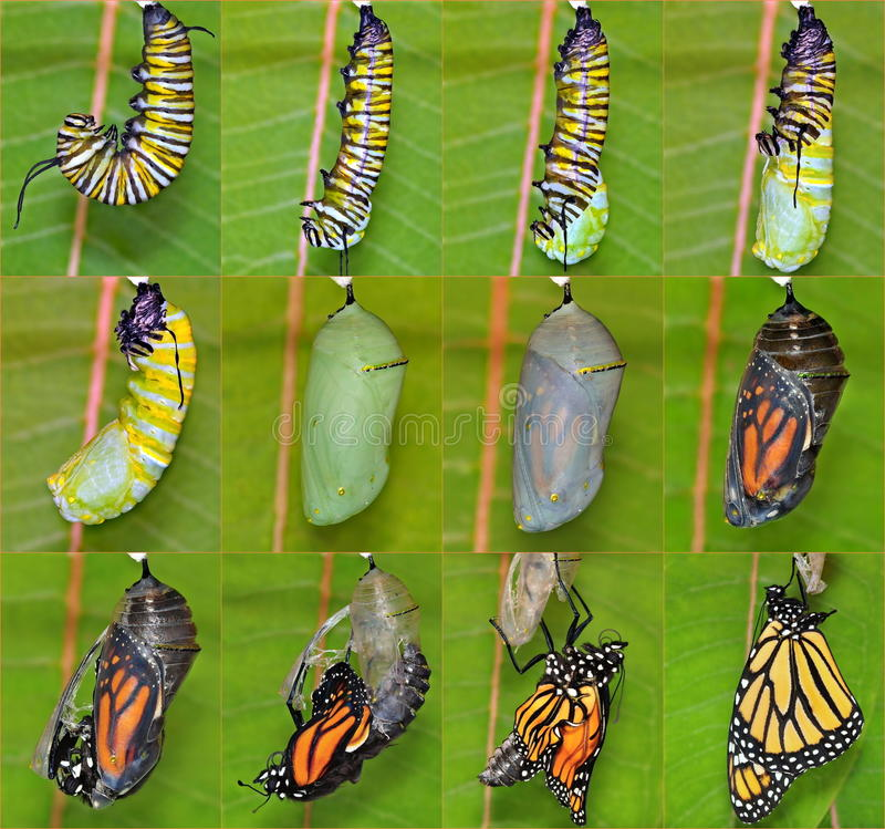 Monarch Butterfly life cycle (Danaus plexippus). A complete twelve- step Monarch butterfly metamorphosis capturing this remarkable creatures miraculous stock images