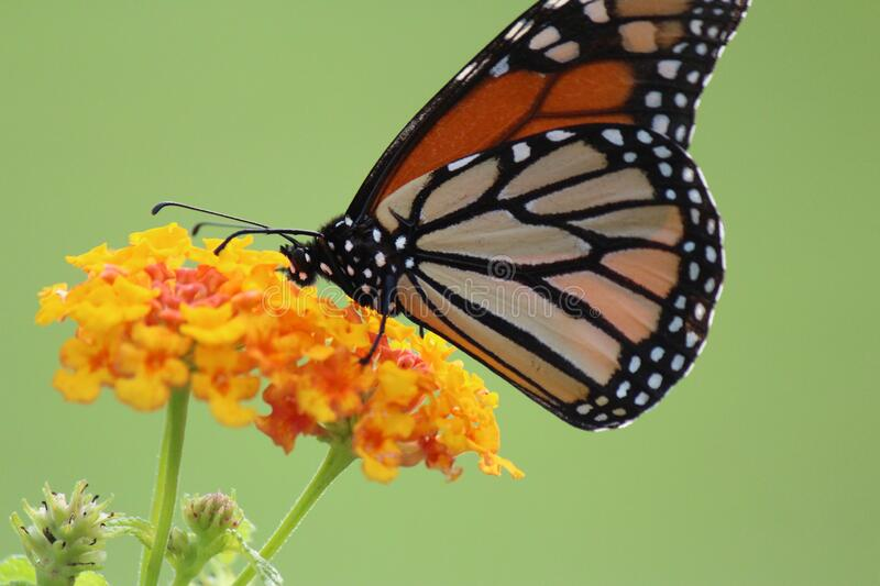 Monarch Butterfly Macro-Photography stock images