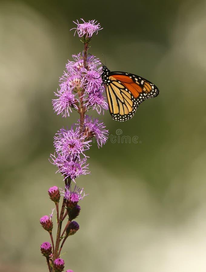 Monarch Butterfly on Meadow Blazingstar. Single Monarch Butterfly enjoying the nectar of the beautiful Meadow Blazingstar flower stock images