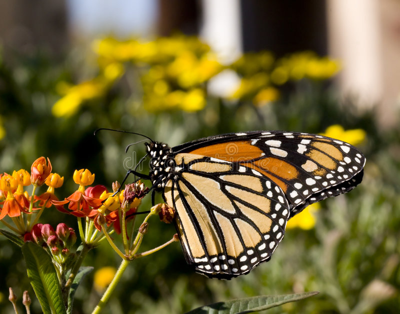 Monarch Butterfly on Milkweed. Profile shot of monarch butterfly feeding from milkweed plant stock photography
