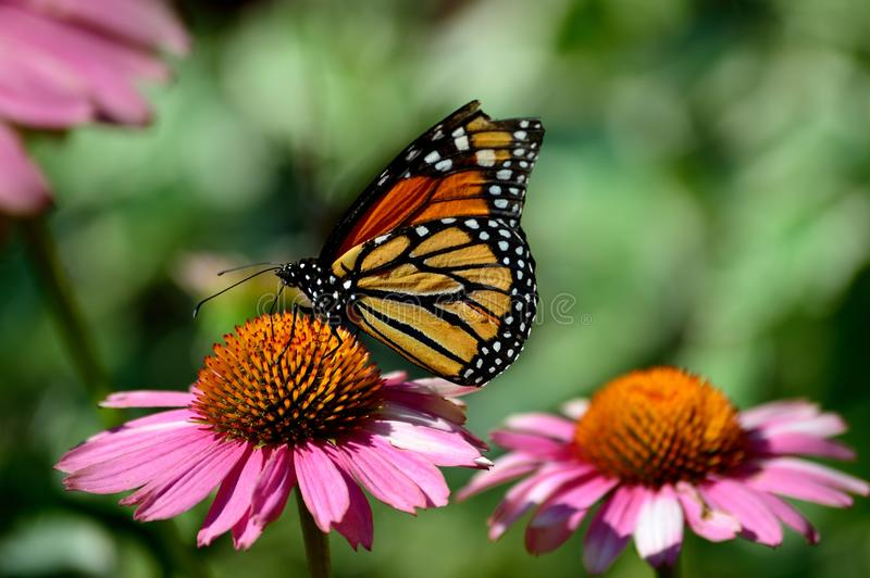 Monarch Butterfly, Milkweed, Common Tiger, Wanderer, Black Veined Brown on coneflower royalty free stock photos