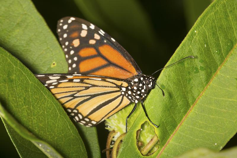 Monarch butterfly on milkweed leaves in New Hampshire. royalty free stock photos