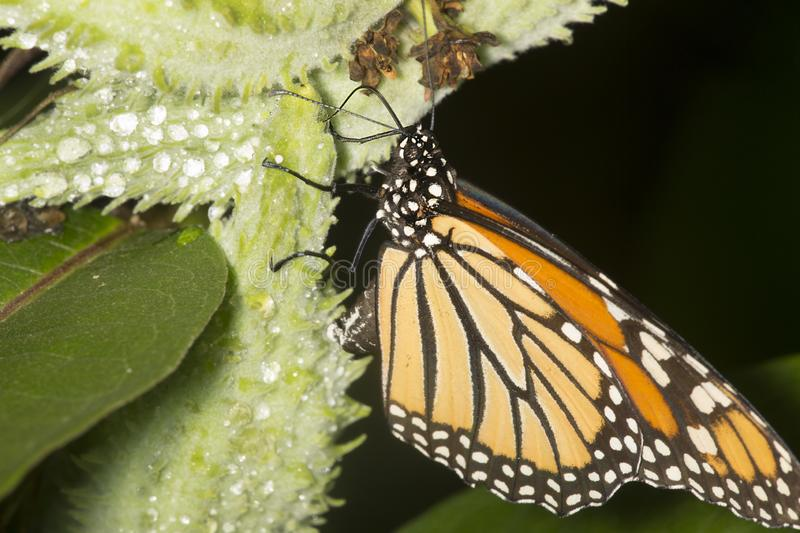 Monarch butterfly on milkweed seed pod in New Hampshire. stock photography