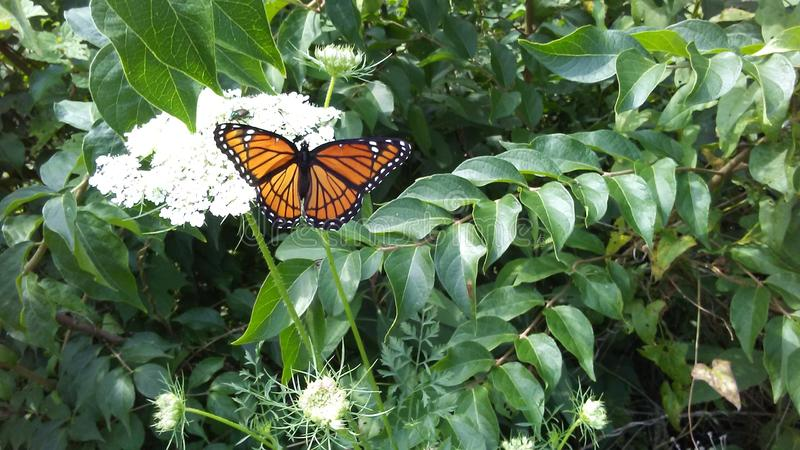 Monarch butterfly in Nature stock photo