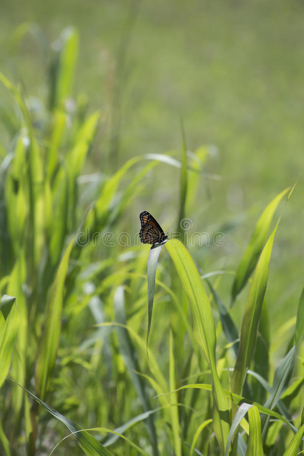 Monarch Butterfly. Perched on a thick blade of grass stock image