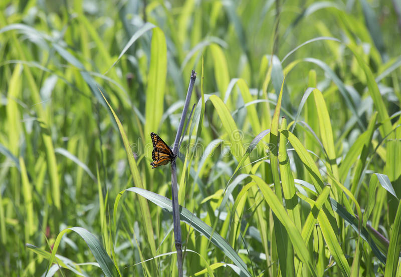 Monarch Butterfly. Perched on a thick blade of grass royalty free stock photos