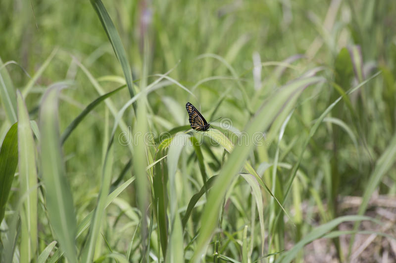 Monarch Butterfly. Perched on a thick blade of grass royalty free stock photography