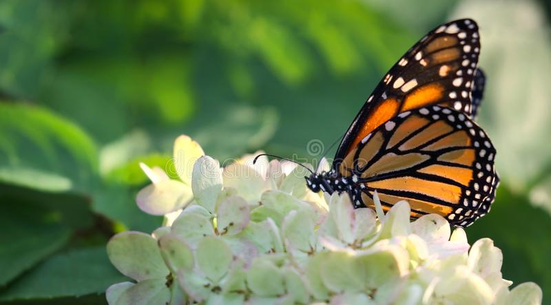 Monarch butterfly in nature. Monarch butterfly on flower during summer royalty free stock image