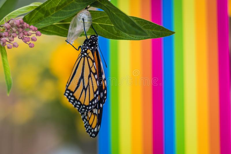 Monarch butterfly newly emerged from Chrysalis on Milkweed. Monarch Butterfly and Chrysalis, Danaus Plexppus, on Milkweed stem room for text copy.  Simple royalty free stock image