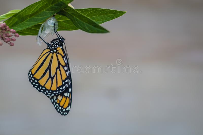 Monarch butterfly newly emerged from Chrysalis on Milkweed. Monarch Butterfly, Danaus Plexppus, on Milkweed stem room for text copy.  Nature and beauty stock image