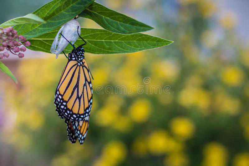 Monarch butterfly newly emerged from Chrysalis on Milkweed. Monarch Butterfly, Danaus Plexppus, on Milkweed stem room for text copy.  Nature and beauty royalty free stock images