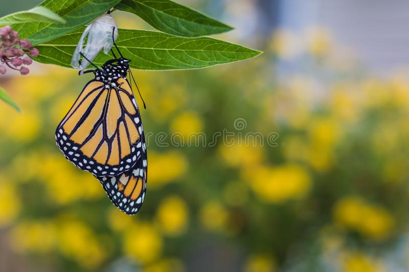 Monarch butterfly newly emerged from Chrysalis on Milkweed. Monarch Butterfly, Danaus Plexppus, on Milkweed stem room for text copy.  Nature and beauty stock photo