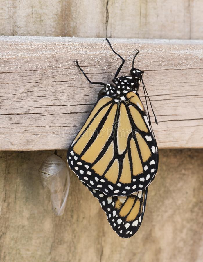 Monarch Butterfly Newly Emerged. Orange, black, and white newly emerged monarch butterfly is clinging to a wooden fence with the clear broken chrysalis in view stock image