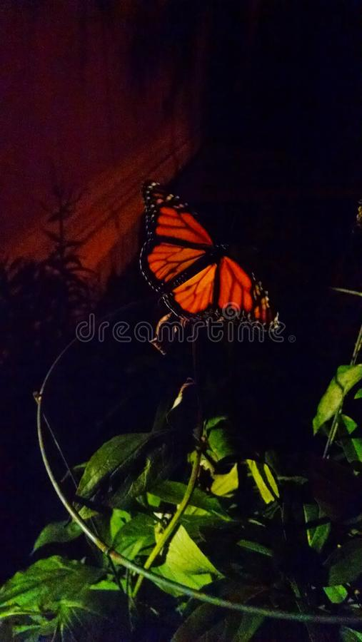 Monarch butterfly at night royalty free stock photos