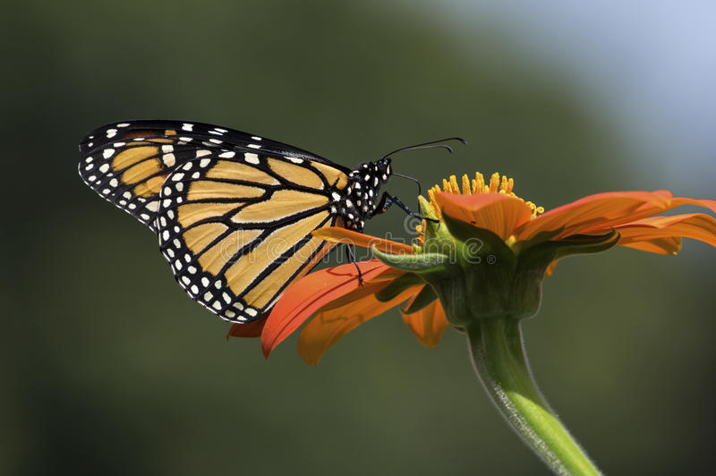Monarch Butterfly. Is normally a milkweed butterfly, in the family Nymphalidae. Here it is seen feeding on the flower of a Tithonia diversifolia or Mexican royalty free stock photos