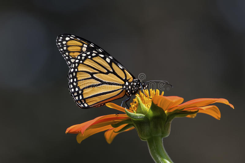 Monarch Butterfly. Is normally a milkweed butterfly, in the family Nymphalidae. Here it is seen feeding on the flower of a Tithonia diversifolia or Mexican stock photography