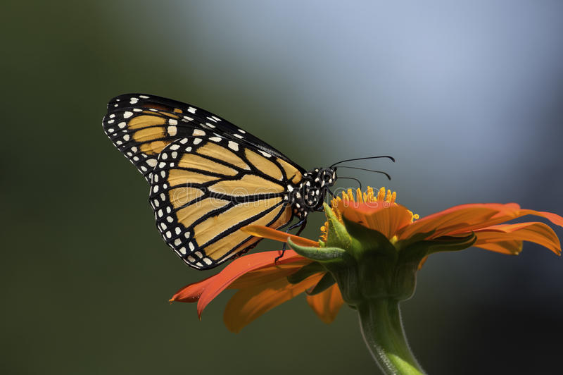 Monarch Butterfly. Is normally a milkweed butterfly, in the family Nymphalidae. Here it is seen feeding on the flower of a Tithonia diversifolia or Mexican royalty free stock photo