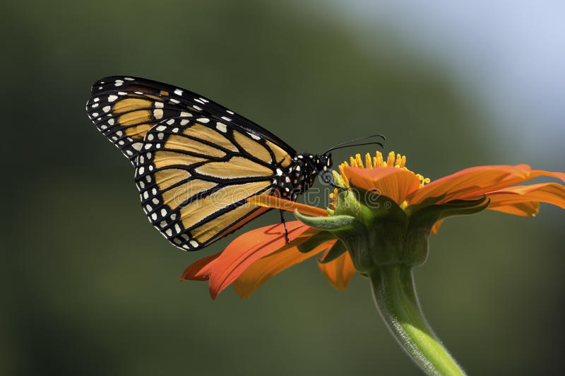 Monarch Butterfly. Is normally a milkweed butterfly, in the family Nymphalidae. Here it is seen feeding on the flower of a Tithonia diversifolia or Mexican stock photos