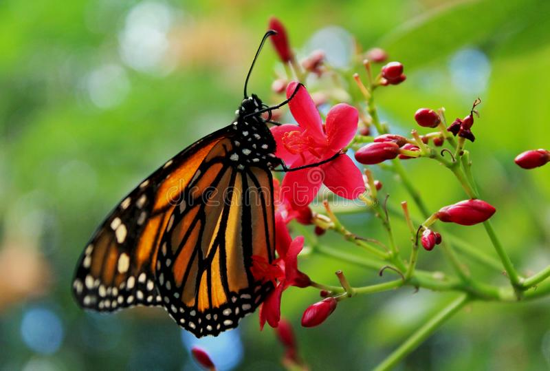 Monarch butterfly. One Monarch butterfly is resting on a plant leaf at Safari Park butterfly garden, San Diego, California. The monarch butterfly or simply stock photo