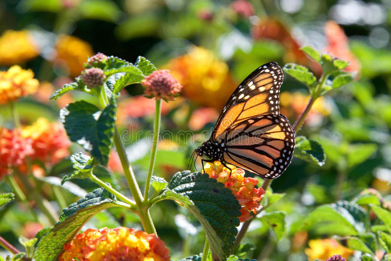 Monarch butterfly on orange lantana flowers stock photography
