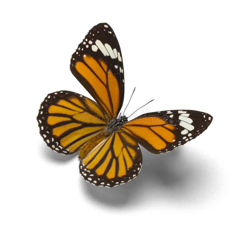Monarch Butterfly. Orange Monarch Butterfly With Open Wings Isolated on White Background royalty free stock photography