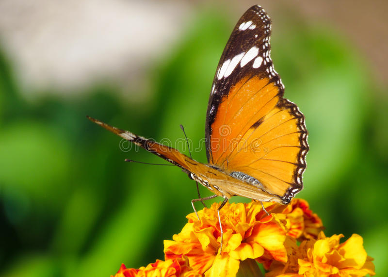 Monarch butterfly. An orange monarch butterfly sitting on a flower in the garden with green blurred background on a marigold flower stock photography