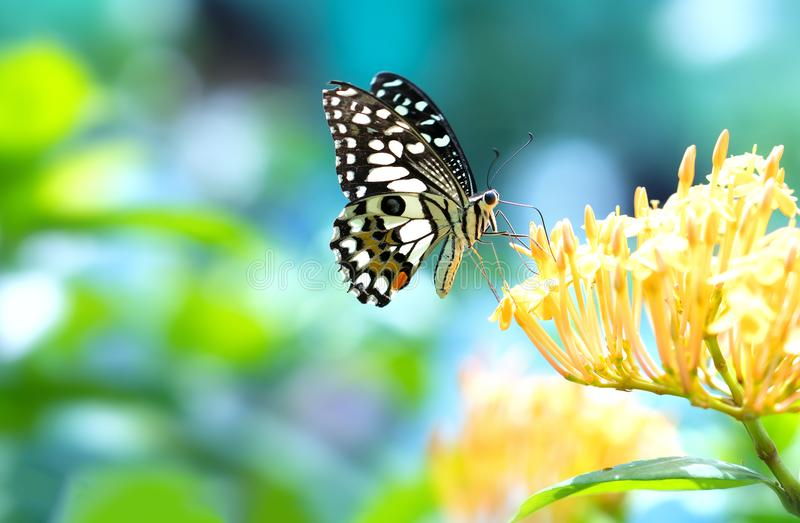 Monarch butterfly parked on the flower stalk. In the sunny morning in the garden stock photography