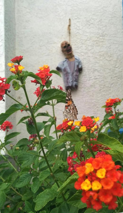 Monarch butterfly perched on flowers with zombie Halloween decoration in background stock photos
