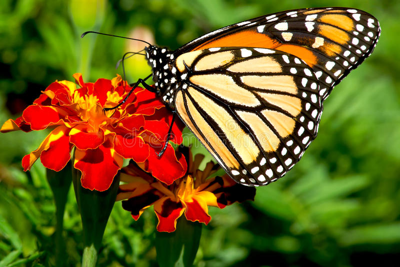 Monarch Butterfly - Danaus plexippus stock image