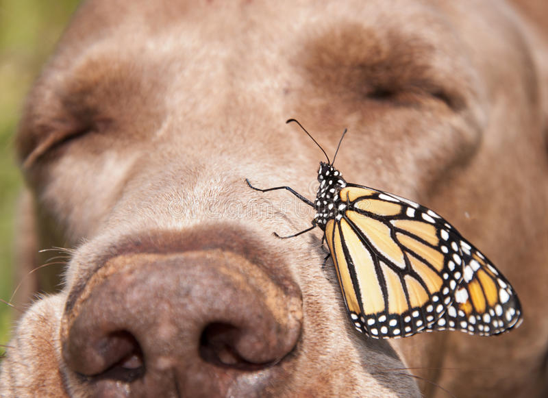 Monarch butterfly perched on the side of a dog's nose stock image