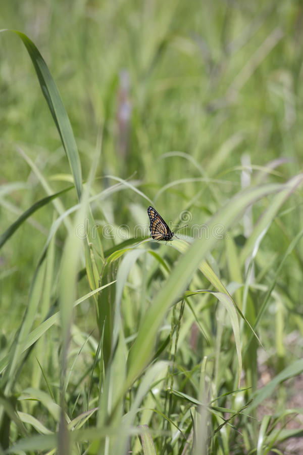 Monarch Butterfly. Perched on a thick blade of grass stock photo
