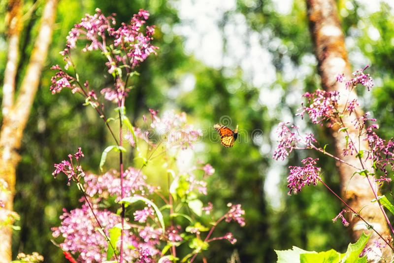 A monarch butterfly and pink flowers. In the Monarch Butterfly Biosphere Reserve, Michoacan Mexico stock photo