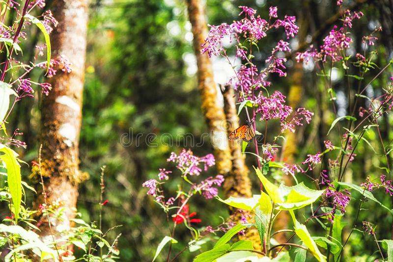 A monarch butterfly and pink flowers. In the Monarch Butterfly Biosphere Reserve, Michoacan Mexico stock photography