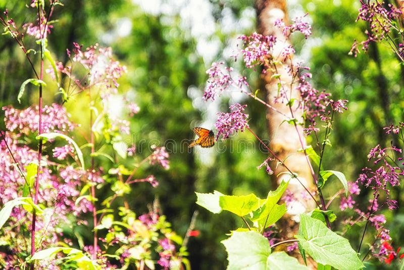 A monarch butterfly and pink flowers. In the Monarch Butterfly Biosphere Reserve, Michoacan Mexico stock image