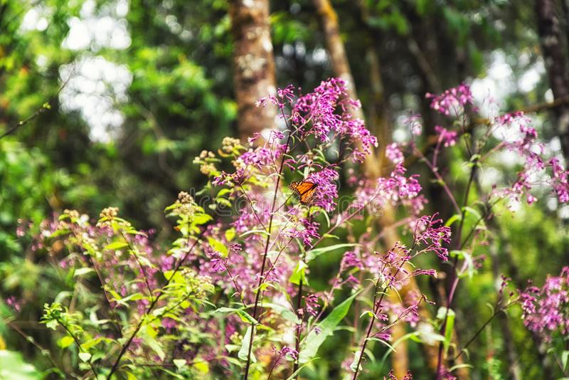 A monarch butterfly and pink flowers. In the Monarch Butterfly Biosphere Reserve, Michoacan Mexico stock images