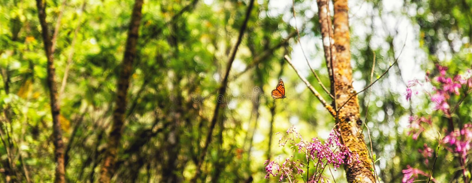 A monarch butterfly and pink flowers. In the Monarch Butterfly Biosphere Reserve, Michoacan Mexico royalty free stock photos